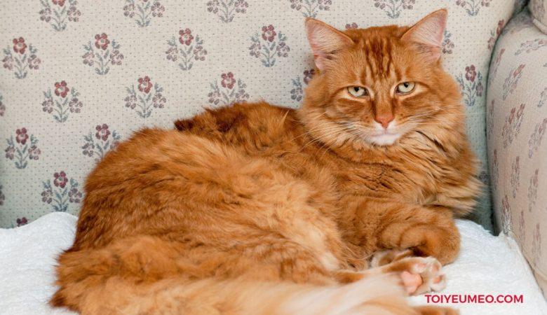 Mèo lông dài phương Đông