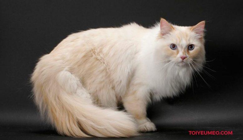 Mèo Ragamuffin